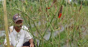 Kekeringan, Petani Cabai di Tasik Menelan Kerugian Hingga Puluhan Juta